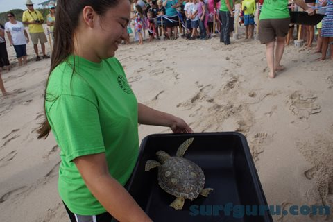 Rehabilitated Sea Turtles released into the Ocean.